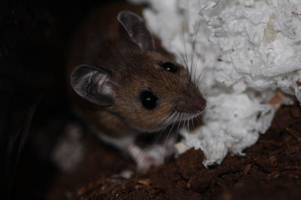 мышь в пенополистироле